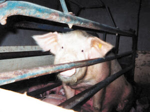 Mother Pig in Crate