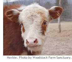 cows raised for meat  food empowerment project as strict herbivores they spend much of their time grazing in herds never  more than a few miles from water in an average day cattle will drink    persuasive essay thesis examples also argumentative essay sample high school english essay books