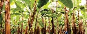 Pablo Mera, Worker, Harvesting bananas at the plantation of Vincente Matute, a member of El Guabo, a fair trade banana cooperative of Ecuador. © Eric St-Pierre
