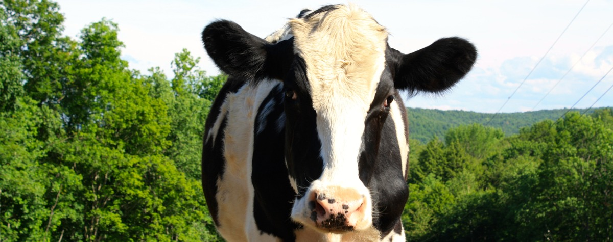 Photo of Jasper the cow courtesy of VINE Sanctuary