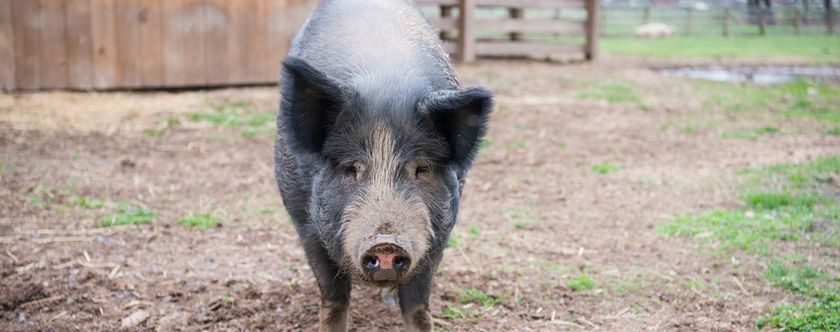Lexi the Pig.  Photo Courtesy of Woodstock Farm Sanctuary.