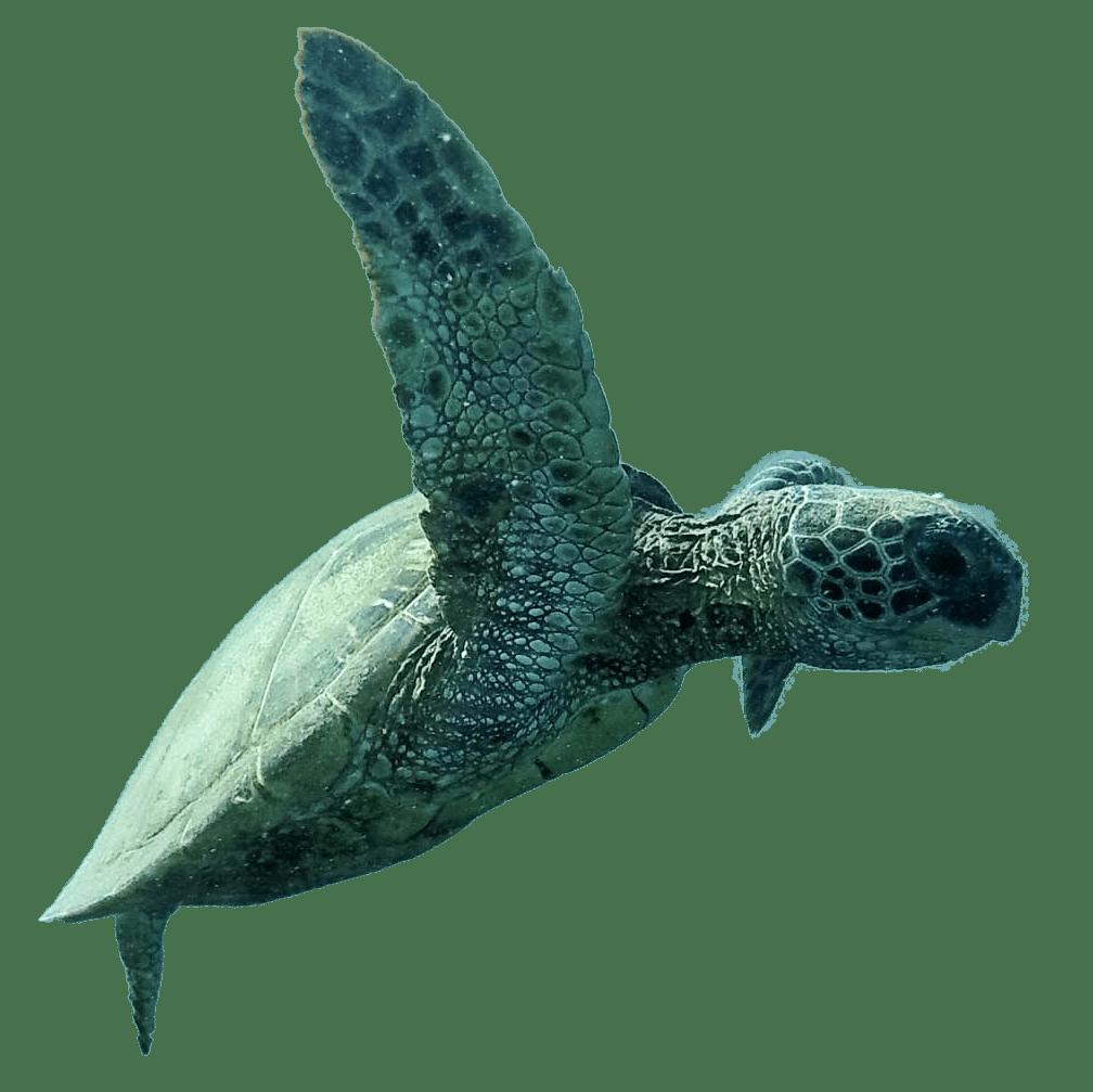 FFTO Sea Turtle