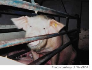 pigs_small2