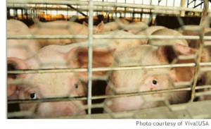 pigs_small3